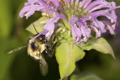 Bumblebee burying its head inside a bergamot flower. Royalty Free Stock Image