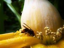 Bumblebee. A bumblebee are busy collecting nectar Stock Photos