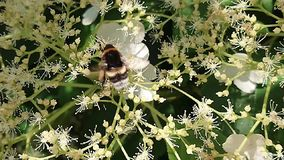 Bumblebee Busy At Work. Bumblebee is busy at work on the flowers stock video footage