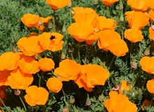 California Poppies  Stock Photography
