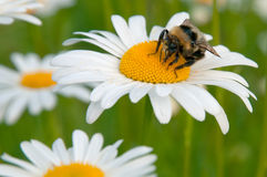 Bumblebee and camomile Royalty Free Stock Image