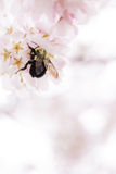 Bumblebee | Carpenter Bee. A large fuzzy BEE grabs pollin from a pink flower Stock Photos