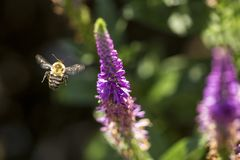 Free Bumblebee Caught In Flight Near A Salvia Flower, New Hampshire Stock Photo - 159485760