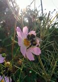 Flower of chamomile and bumblebee. Bumblebee is sitting on a flower Stock Photography