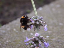 Bumblebee on lavender Stock Photography