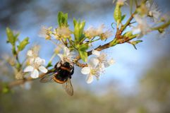 Bumblebee on a cherry blossom tree in spring royalty free stock images