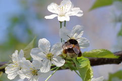 Bumblebee and cherry plum Royalty Free Stock Images