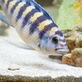 Bumblebee Cichlid Looking in the Sand for Food Stock Image