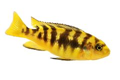 Bumblebee cichlid Pseudotropheus crabro tropical aquarium fish Stock Photography
