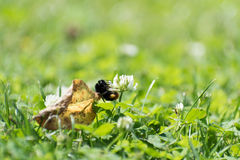 Bumblebee climbing on a flower Royalty Free Stock Photo