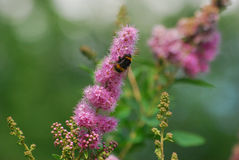 Bumblebee climbing on pink flower. A bumblebee climbs on a pink flower gathering pollen Stock Images
