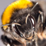 Bumblebee close up Stock Image