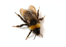 Bumblebee  close-up. On white background Stock Photography