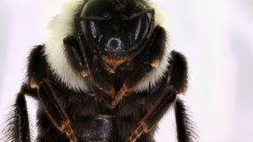 Bumblebee. Close up of an adult Bumblebee Royalty Free Stock Image