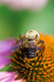 Bumblebee close up on coneflower Stock Photo