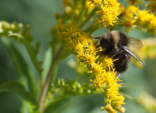 Bumblebee close up Stock Photography