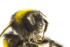 Bumblebee close up Stock Photos