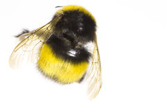 Bumblebee close up Royalty Free Stock Photography