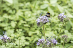 Bumblebee closeu bumble bee on Phacelia tanacetifolia honey plant for bees and insect. Bumblebee closeu bumble bee on Phacelia tanacetifolia honey plant for bees Royalty Free Stock Images