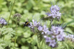 Bumblebee closeu bumble bee on Phacelia tanacetifolia honey plant for bees and insect. Bumblebee closeu bumble bee on Phacelia tanacetifolia honey plant for bees Stock Photos