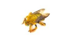 Bumblebee Stock Image