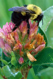 Bumblebee on Clover with Dew Royalty Free Stock Photos