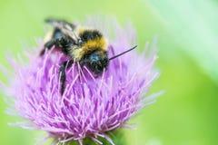 Bumblebee on clover flower Stock Photos