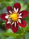 Bumblebee on collarette dahlia 'Mary Evelyn' Stock Photo