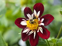 Bumblebee on collarette dahlia 'Mary Evelyn' Royalty Free Stock Photos