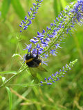 Bumblebee collecting nectar on the blue wildflower Stock Photography