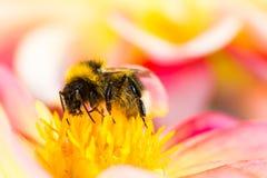 Bumblebee collecting nectar in a dahlia blossom Stock Photos