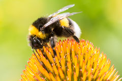 Bumblebee collecting nectar on Echinacea flower. Macro of a bumblebee collecting nectar on Echinacea flower stock images