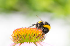 Bumblebee collecting nectar on Echinacea flower. Macro of a bumblebee collecting nectar on Echinacea flower royalty free stock photography