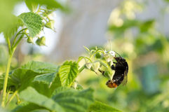 Bumblebee. Collecting nectar in the flowers of raspberry Stock Images