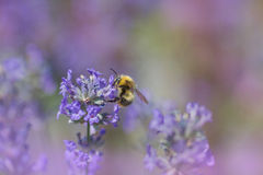 Bumblebee collecting nectar on a lavender blossom Royalty Free Stock Photography