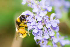 Bumblebee collecting nectar Stock Images