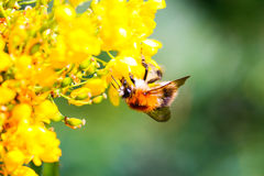 Bumblebee collecting nectar. On yellow flower Royalty Free Stock Images