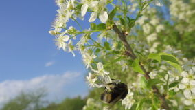 Bumblebee is collecting the pollen on cherry flowers stock footage