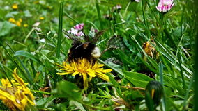 Bumblebee collecting pollen, close up stock footage