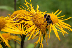Bumblebee collecting pollen from a flower. Royalty Free Stock Images