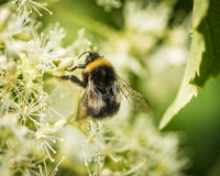 Bumblebee collecting pollen Stock Photography