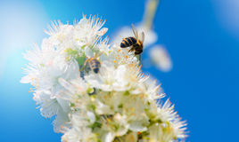 Bumblebee while collecting pollen from mirabelle plum blossoms Royalty Free Stock Photos
