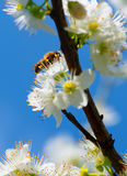Bumblebee while collecting pollen from mirabelle plum blossoms Stock Image