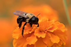 Bumblebee Collecting Pollen from Orange Flower. Extreme Close Up of Honey Bumble Bee Collecting Pollen from Bright Orange Flower Bloom in Garden Royalty Free Stock Photography