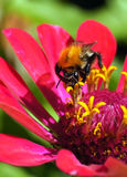 Bumblebee collecting pollen Stock Photography