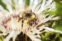 Bumblebee collecting pollen from a welted thistle flower Stock Images