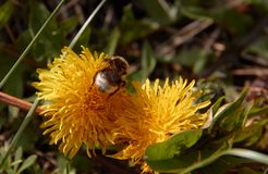 Bumblebee collecting pollen in yellow dandelion flower with diffused green grass background. Nature macro outdoor animal field meadow plant spring summer insect stock photo