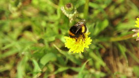 Bumblebee collecting pollen stock footage