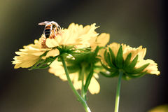 A bumblebee collecting pollen Royalty Free Stock Photo