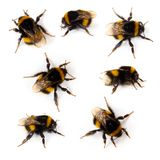Bumblebee. Collection isolated on white Stock Photos